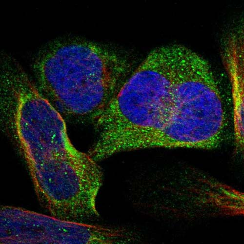 Immunocytochemistry/ Immunofluorescence - Anti-C7orf53 antibody (ab121406)