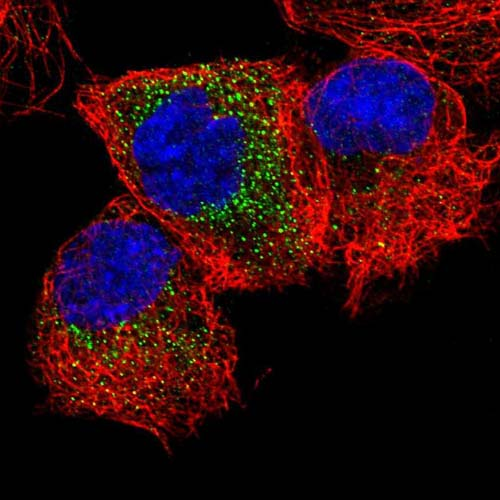 Immunocytochemistry/ Immunofluorescence - Anti-MEA1 antibody (ab121543)
