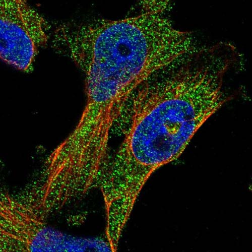 Immunocytochemistry/ Immunofluorescence - Anti-PCNXL3 antibody (ab121555)