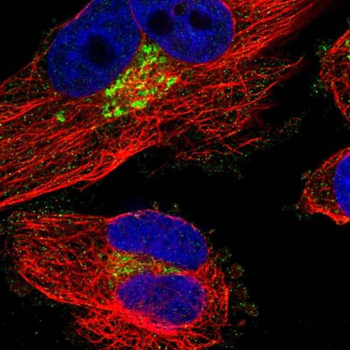 Immunocytochemistry/ Immunofluorescence - Anti-FAM174A antibody (ab121607)