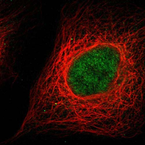 Immunocytochemistry/ Immunofluorescence - Anti-C9orf139 antibody (ab121686)
