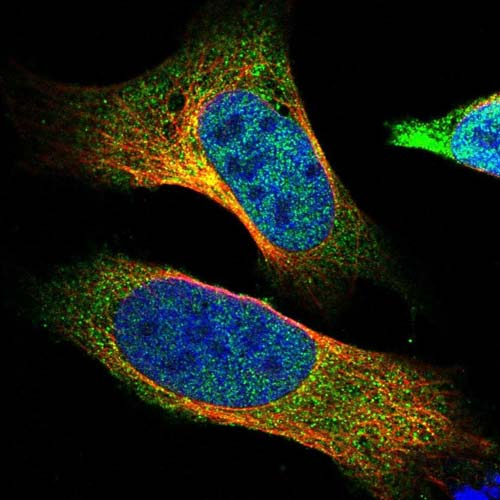 Immunocytochemistry/ Immunofluorescence - Anti-SYNRG antibody (ab121761)