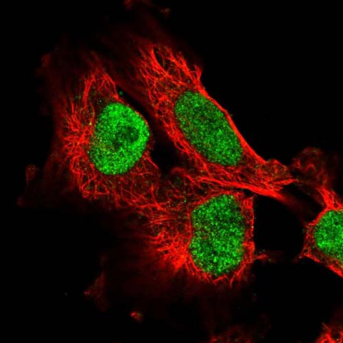 Immunocytochemistry/ Immunofluorescence - Anti-C8orf86 antibody (ab121851)