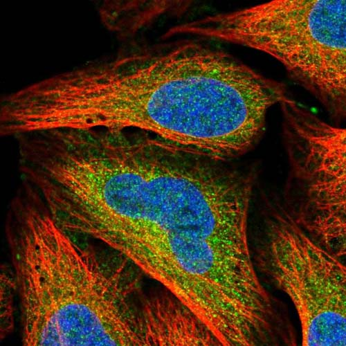 Immunocytochemistry/ Immunofluorescence - Anti-C4orf3 antibody (ab121901)