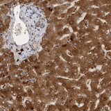 Immunohistochemistry (Formalin/PFA-fixed paraffin-embedded sections) - Anti-MRPL41 antibody (ab121922)