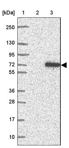 Western blot - Anti-TTC24 antibody (ab122085)
