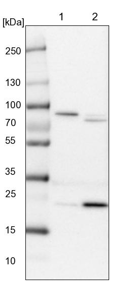 Western blot - Anti-LRRIQ3 antibody (ab122132)