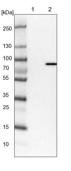 Western blot - Anti-LRRIQ3 antibody (ab122133)