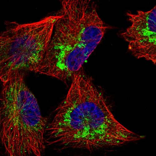 Immunocytochemistry/ Immunofluorescence - Anti-CCDC56 antibody (ab122199)