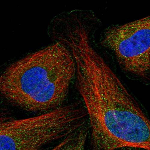 Immunocytochemistry/ Immunofluorescence - Anti-PRRT3 antibody (ab122252)