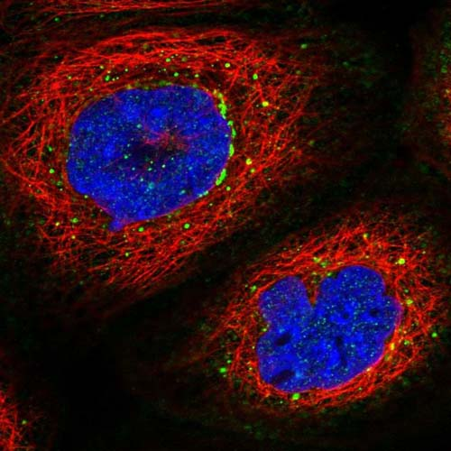 Immunocytochemistry/ Immunofluorescence - Anti-PRMT10 antibody (ab122374)