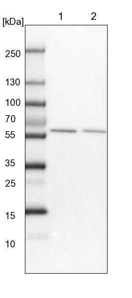 Western blot - Anti-FAM190B antibody (ab122393)