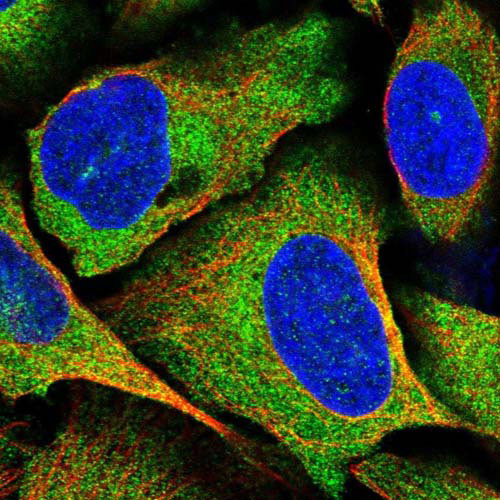 Immunocytochemistry/ Immunofluorescence - Anti-SPATS2 antibody (ab122495)