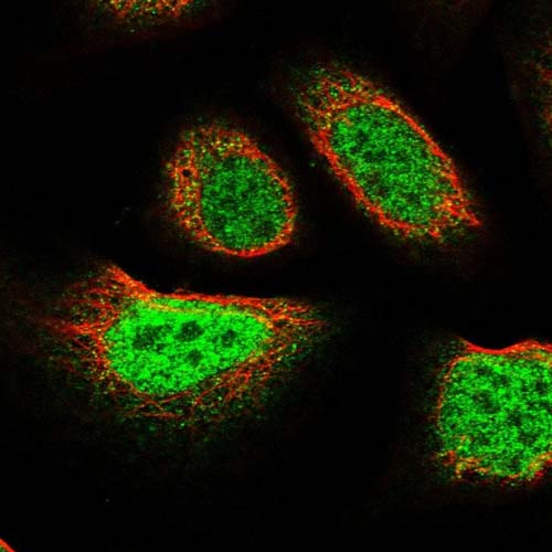 Immunocytochemistry/ Immunofluorescence - Anti-FAM107B antibody (ab122566)