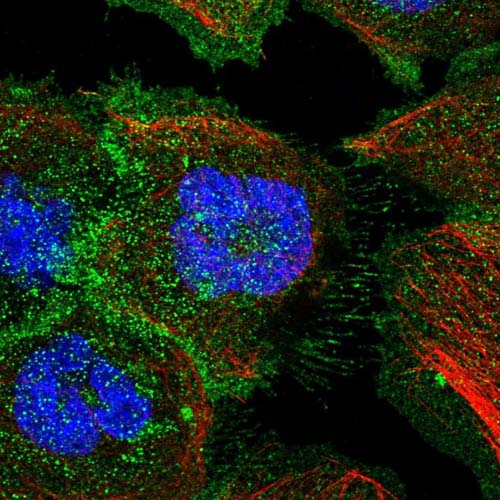 Immunocytochemistry/ Immunofluorescence - Anti-C19orf48 antibody (ab122764)