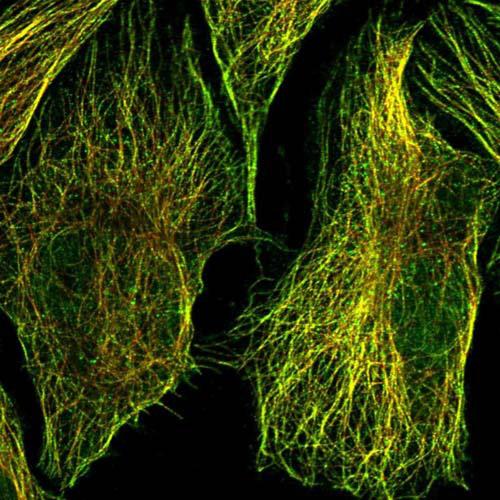 Immunocytochemistry/ Immunofluorescence - Anti-FAM71C antibody (ab122799)