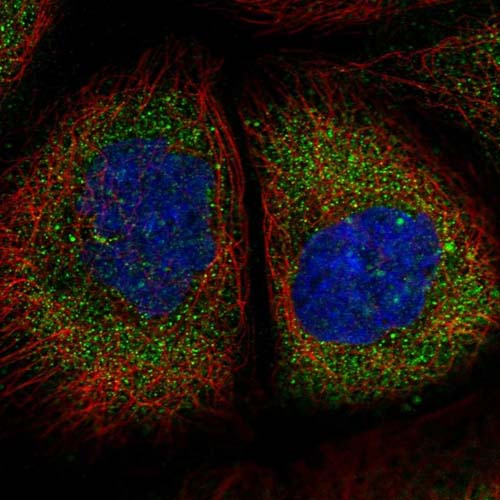 Immunocytochemistry/ Immunofluorescence - Anti-TMEM134 antibody (ab122860)