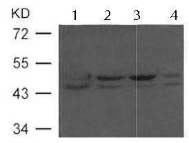 Western blot - Anti-Flotillin 2 antibody (ab123376)