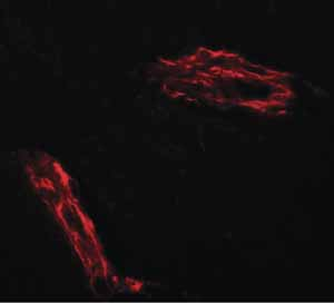 Immunocytochemistry/ Immunofluorescence - Anti-Epac1 antibody (ab124162)