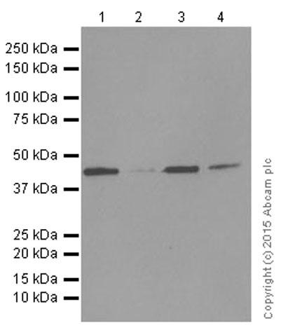Western blot - Anti-Dux4 antibody [EPFHCR44] (ab124699)