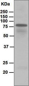 Western blot - Anti-IGHD antibody [EPR6146] (ab124795)