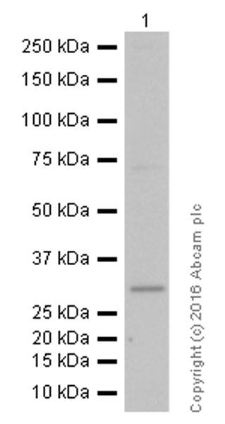 Western blot - Anti-GCLM antibody [EPR6668] (ab124827)