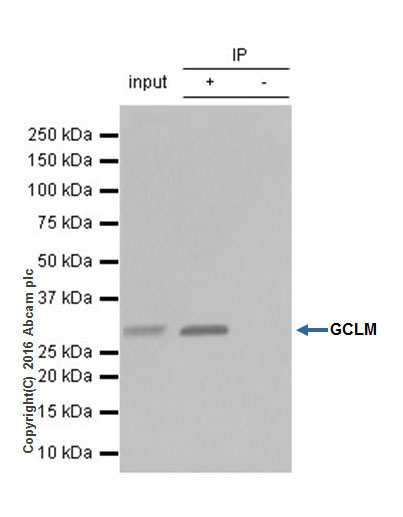 Immunoprecipitation - Anti-GCLM antibody [EPR6668] (ab124827)