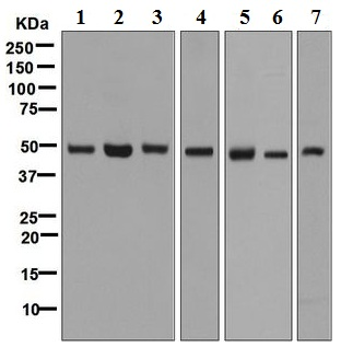 Western blot - Anti-eIF3e antibody [EPR6877] (ab125033)