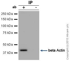 Immunoprecipitation - Anti-beta Actin antibody [BA3R] - Loading Control (ab125248)