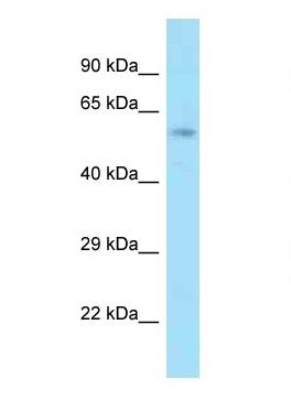 Western blot - Anti-ACBD3 antibody (ab125321)