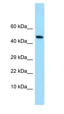 Western blot - Anti-SYNC antibody (ab125442)