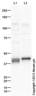 Western blot - Anti-Oct4 antibody (ab125949)