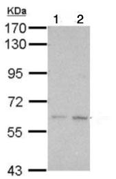 Western blot - Anti-KLHDC7B antibody (ab126063)
