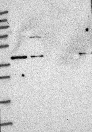 Western blot - Anti-MOCS1 antibody (ab126560)