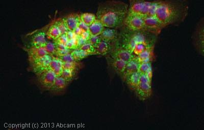 Immunocytochemistry/ Immunofluorescence - Anti-Cyclophilin F antibody (ab126573)