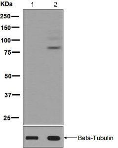 Western blot - Anti-Dab1 (phospho Y232) antibody [EPR2247(2)] (ab126728)