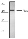 Western blot - Anti-HSC70 Interacting Protein HIP antibody (ab13490)