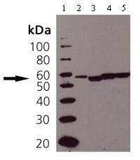 Western blot - Anti-ERp57 antibody (ab13507)