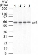 Western blot - Anti-NF-kB p65 [112A1021] antibody (ab13594)