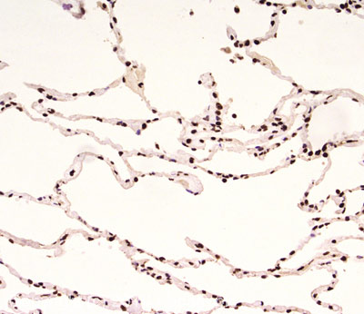 Immunohistochemistry (Formalin/PFA-fixed paraffin-embedded sections) - Anti-Rad9 antibody [93A535] (ab13600)