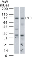 Western blot - Anti-EZH1 antibody (ab13665)