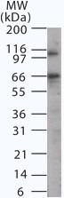 Western blot - Anti-p66 alpha antibody (ab13714)