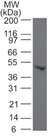 Western blot - Anti-SMAD6 antibody (ab13727)