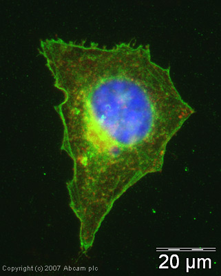 Immunocytochemistry/ Immunofluorescence - Anti-beta Actin antibody - Loading Control (ab13822)