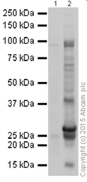 Western blot - Anti-Caspase-3 antibody (ab13847)