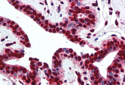 Immunohistochemistry (Formalin/PFA-fixed paraffin-embedded sections) - Anti-Histone H2A antibody - ChIP Grade (ab13923)