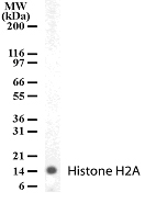 Western blot - Anti-Histone H2A antibody - ChIP Grade (ab13923)