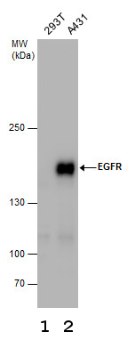 Anti Egfr Antibody N Terminal Ab137660 Abcam