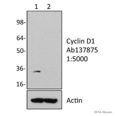 Western blot - Anti-Cyclin D1 antibody [SP4] (ab137875)