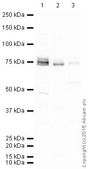 Western blot - Anti-NUMB antibody (ab14140)